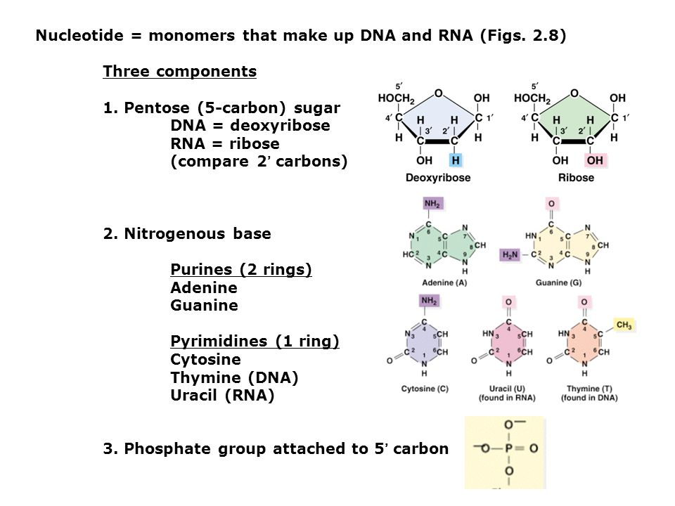 Nucleotide = monomers that make up DNA and RNA (Figs. 2.8)