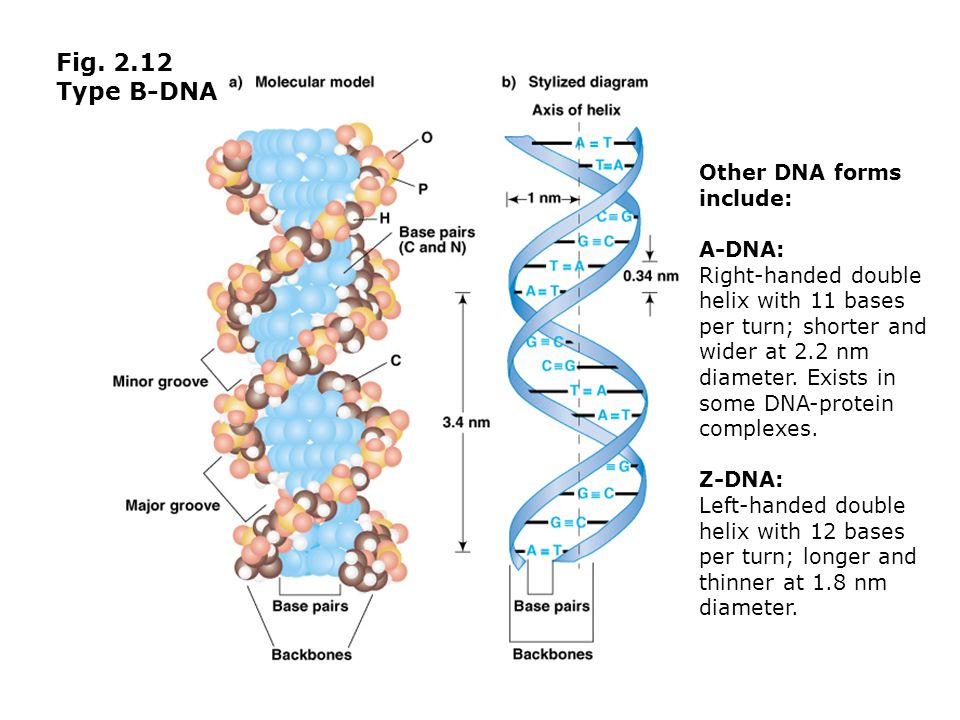 Fig. 2.12 Type B-DNA Other DNA forms include: A-DNA: