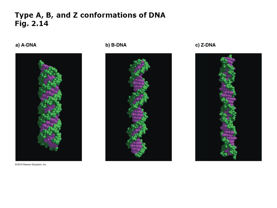 Type A, B, and Z conformations of DNA