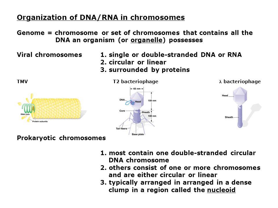 Organization of DNA/RNA in chromosomes