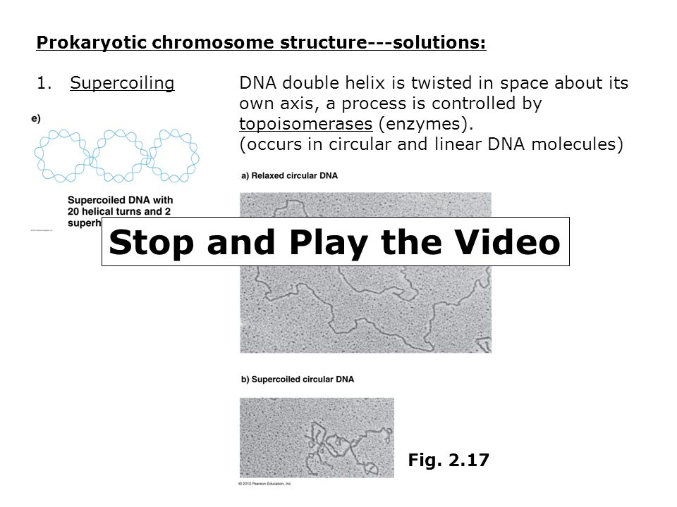 Stop and Play the Video Prokaryotic chromosome structure---solutions: