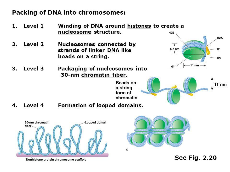 Packing of DNA into chromosomes: