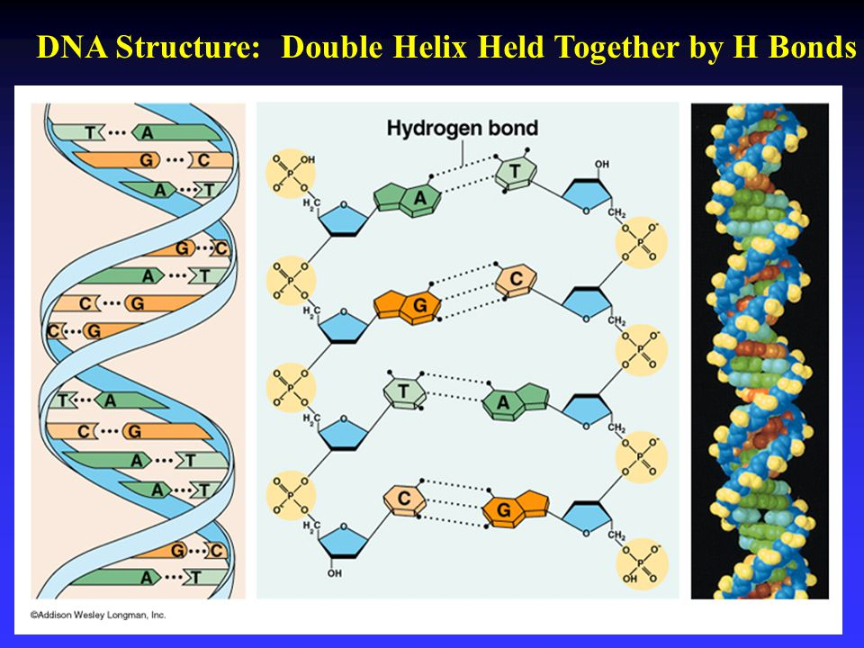 DNA Structure: Double Helix Held Together by H Bonds
