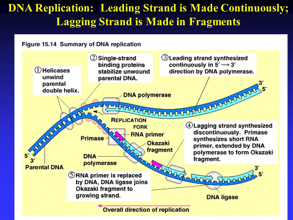 DNA Replication: Leading Strand is Made Continuously;