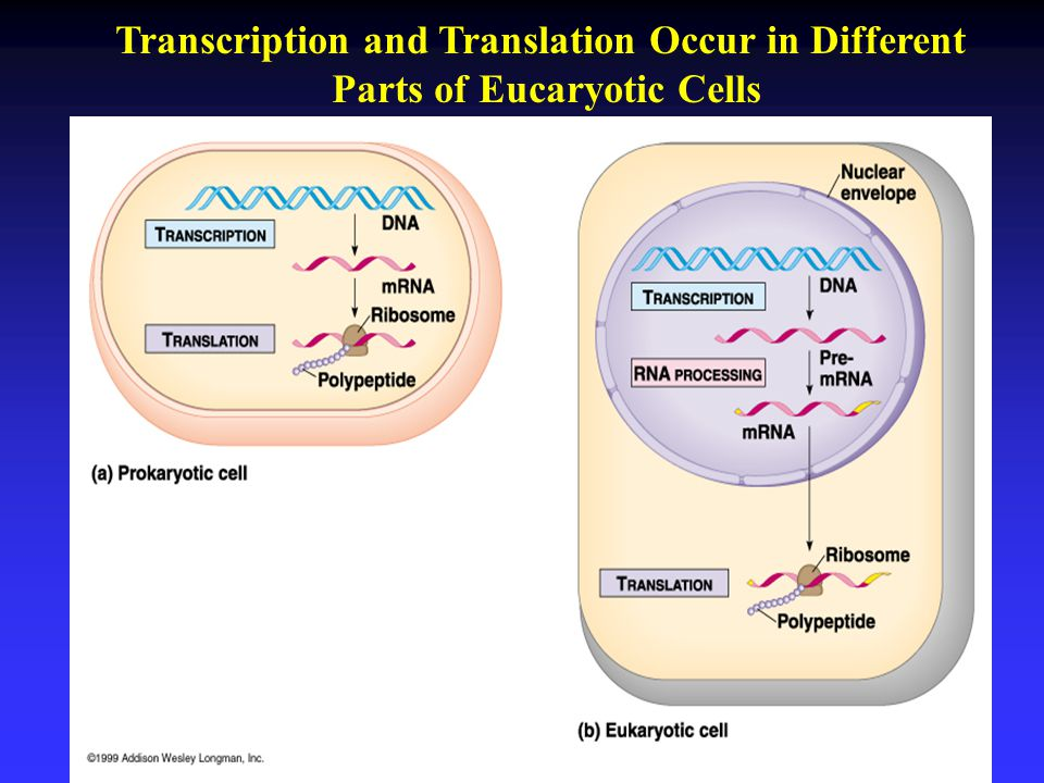 Transcription and Translation Occur in Different