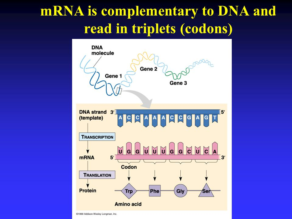 mRNA is complementary to DNA and read in triplets (codons)
