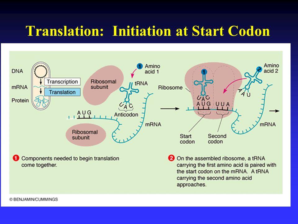 Translation: Initiation at Start Codon