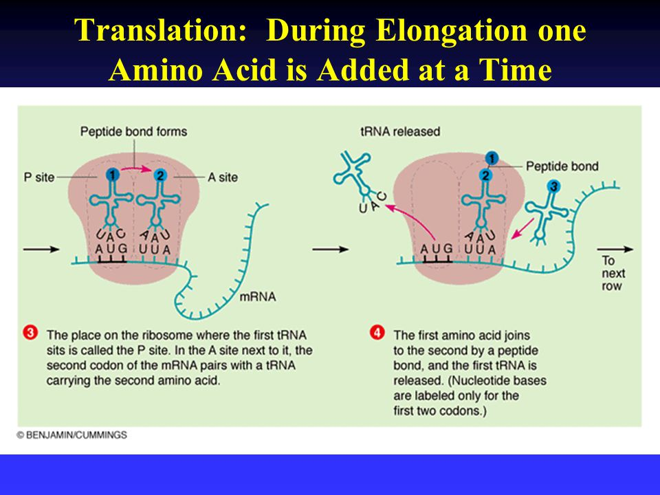 Translation: During Elongation one Amino Acid is Added at a Time