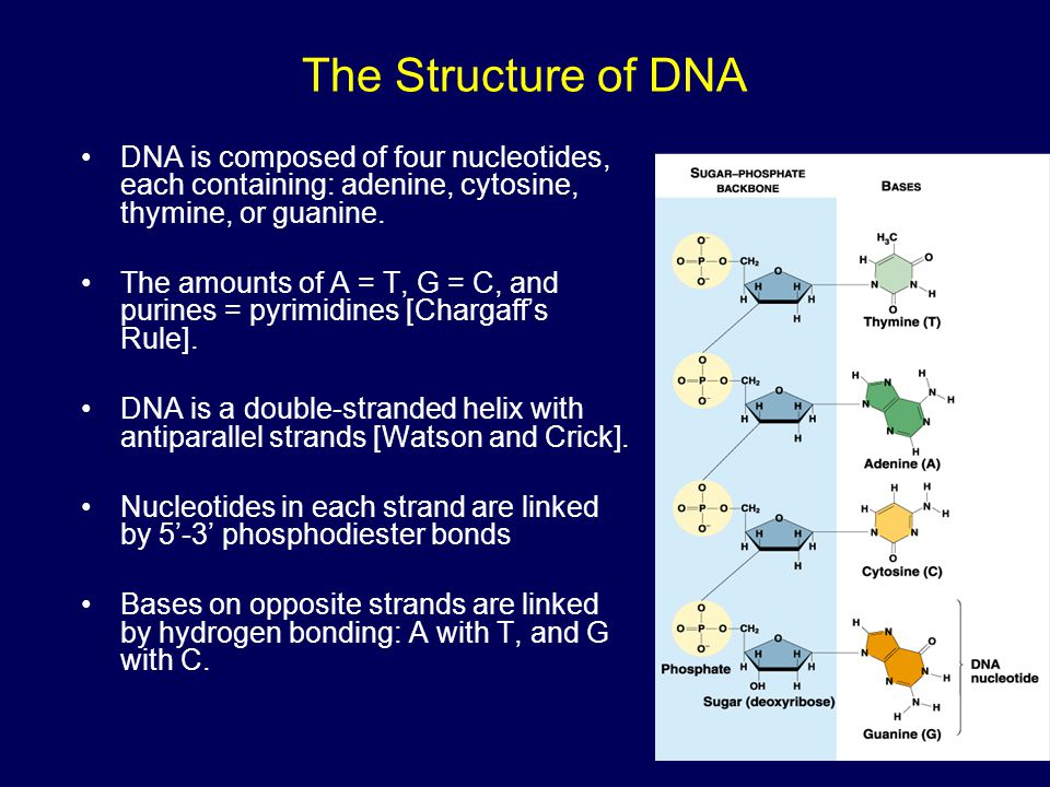 The Structure of DNA DNA is composed of four nucleotides, each containing: adenine, cytosine, thymine, or guanine.