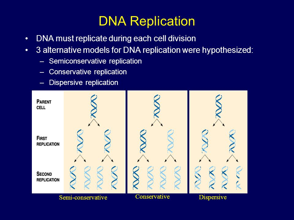DNA Replication DNA must replicate during each cell division