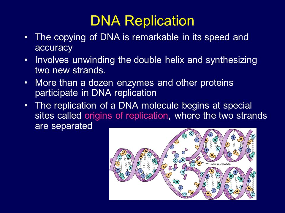 DNA Replication The copying of DNA is remarkable in its speed and accuracy. Involves unwinding the double helix and synthesizing two new strands.