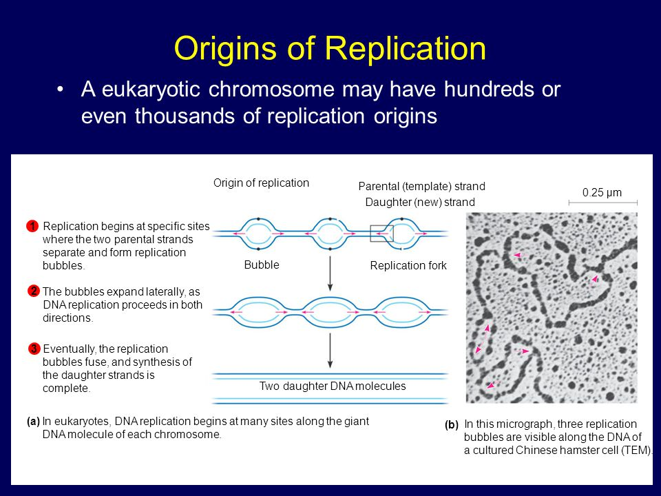 Origins of Replication