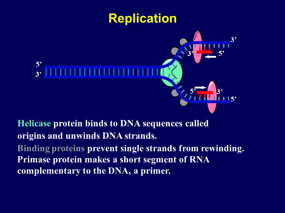 Replication Helicase protein binds to DNA sequences called