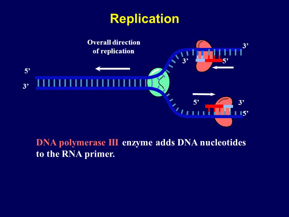 Replication DNA polymerase III enzyme adds DNA nucleotides