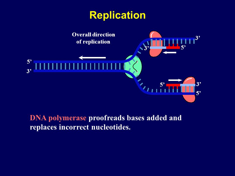 Replication DNA polymerase proofreads bases added and