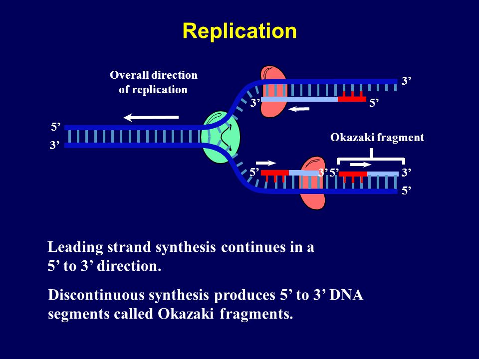 Replication Leading strand synthesis continues in a