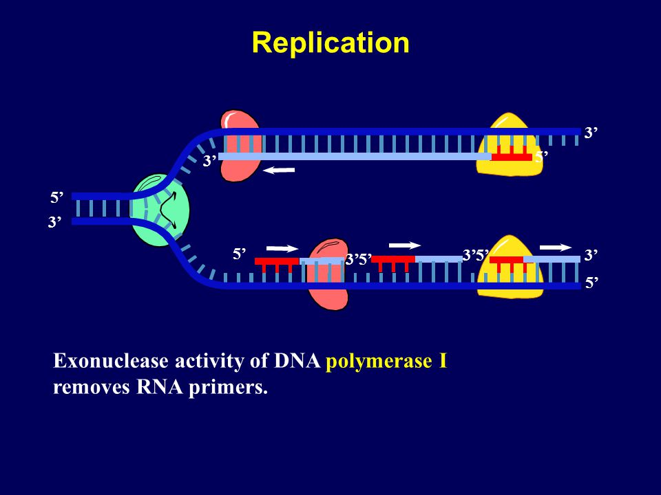 Replication 5' 3' 3' 5' 5' 3' 5' 3' 3' 3' 5' 5' Exonuclease activity of DNA polymerase I removes RNA primers.