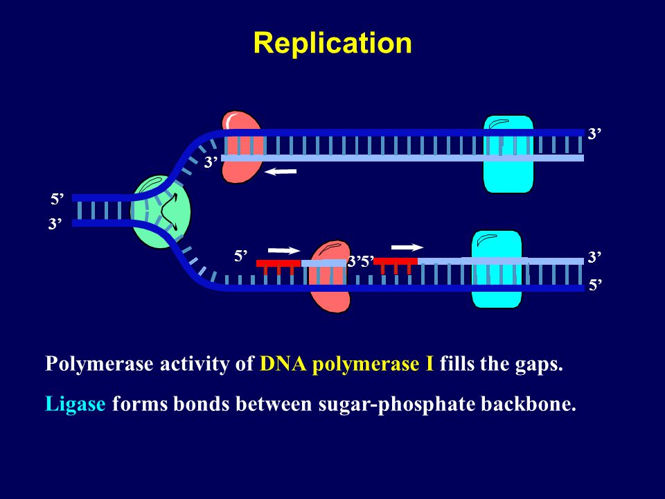 Replication Polymerase activity of DNA polymerase I fills the gaps.