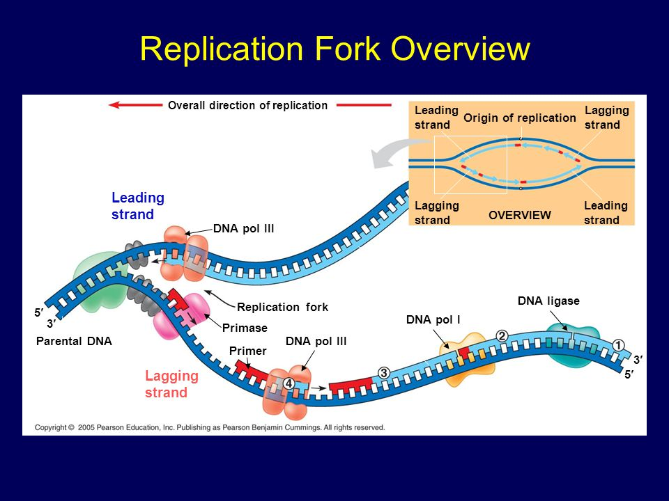 Replication Fork Overview