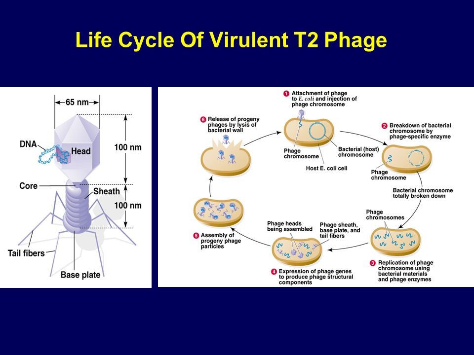 Life Cycle Of Virulent T2 Phage