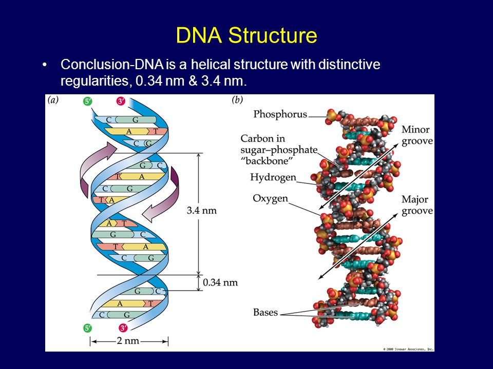 DNA Structure Conclusion-DNA is a helical structure with distinctive regularities, 0.34 nm & 3.4 nm.