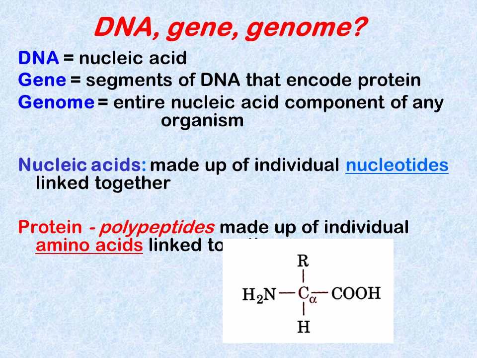 DNA, gene, genome DNA = nucleic acid