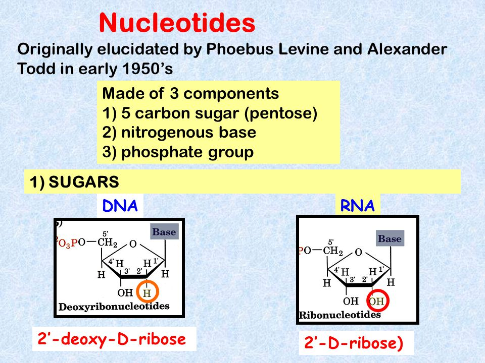 Nucleotides Originally elucidated by Phoebus Levine and Alexander Todd in early 1950's. Made of 3 components.
