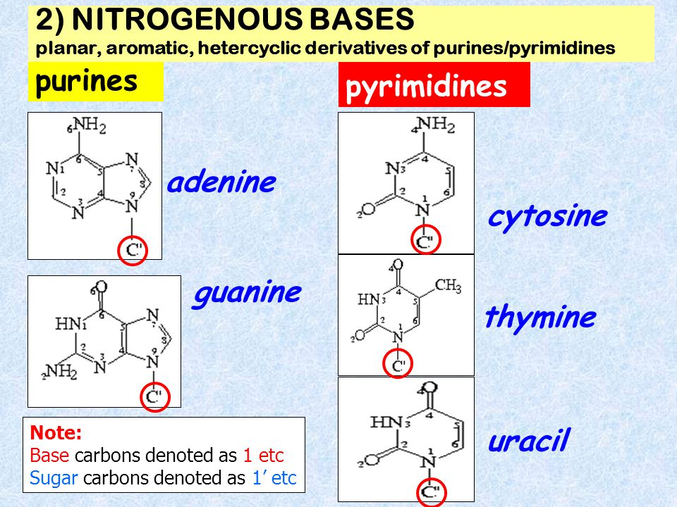 2) NITROGENOUS BASES planar, aromatic, hetercyclic derivatives of purines/pyrimidines