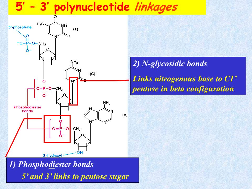 5' – 3' polynucleotide linkages
