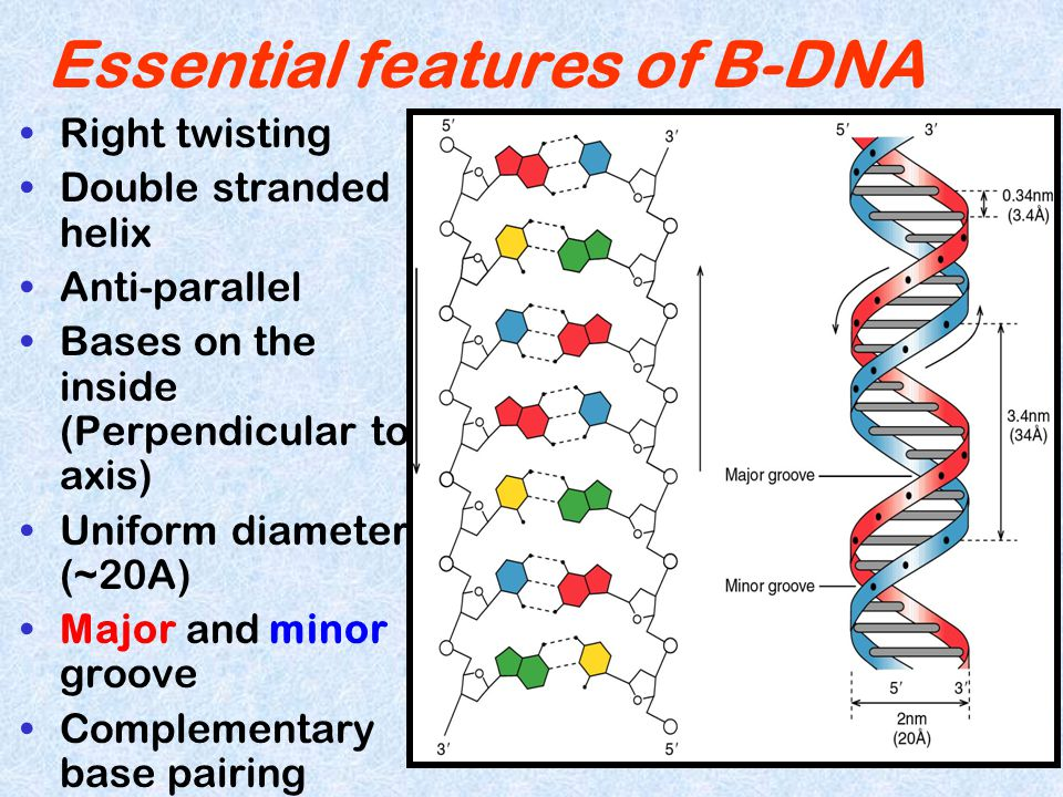 Essential features of B-DNA