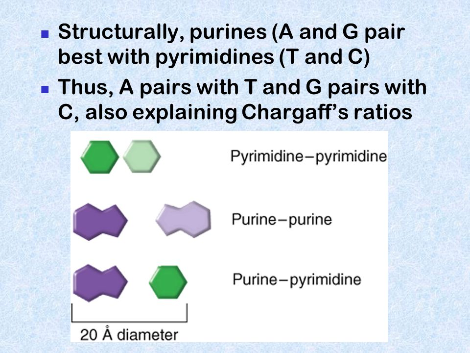 Structurally, purines (A and G pair best with pyrimidines (T and C)