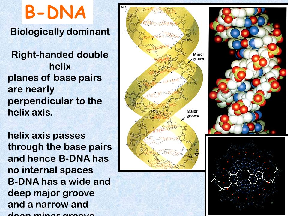 B-DNA Biologically dominant Right-handed double helix