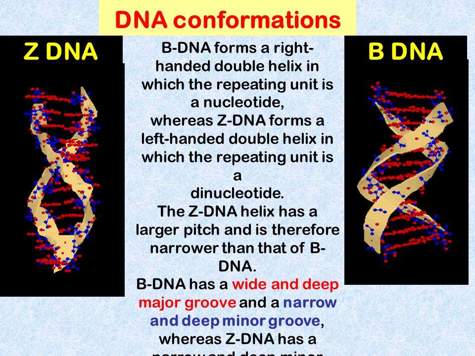 DNA conformations Z DNA B DNA