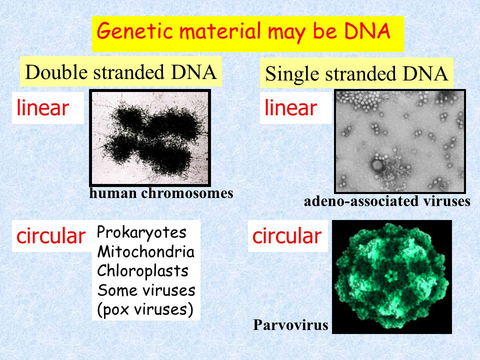 Genetic material may be DNA