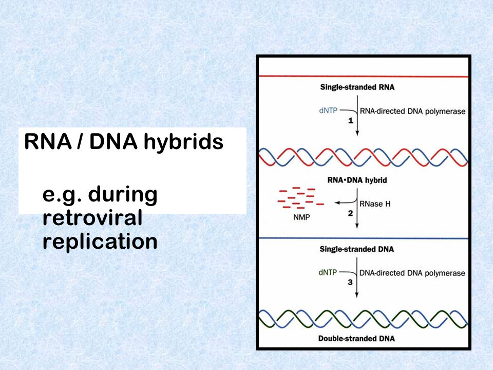 RNA / DNA hybrids e.g. during retroviral replication