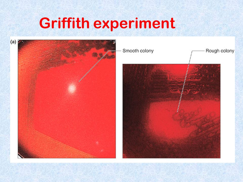 Griffith experiment Figure 6.3 a