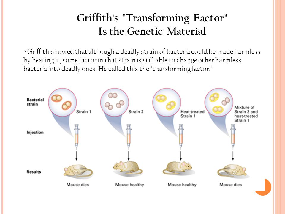 Griffith s Transforming Factor Is the Genetic Material