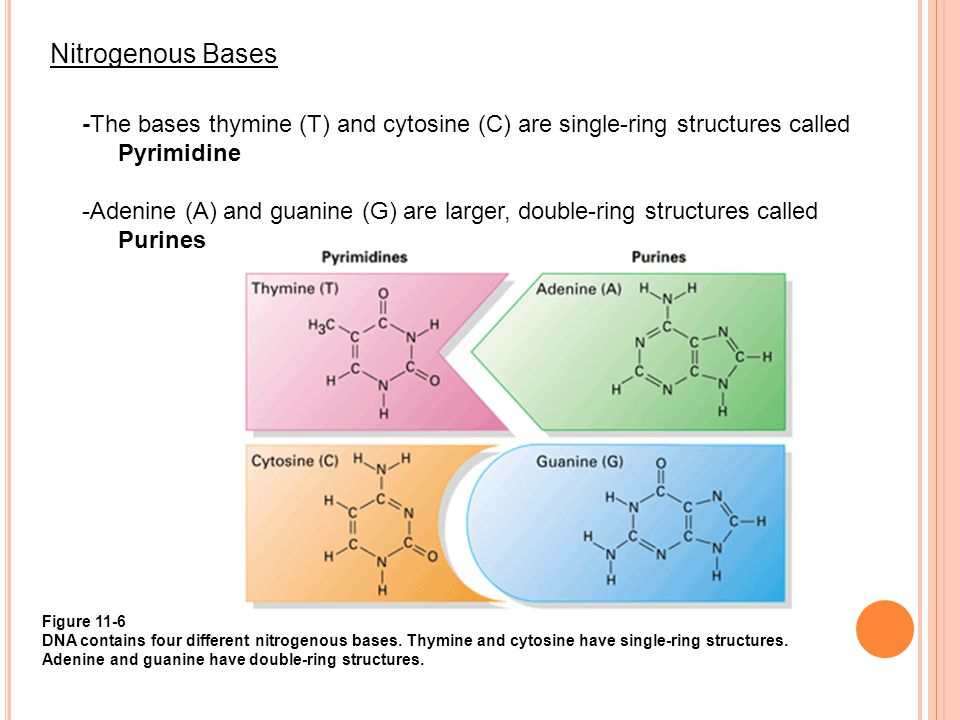 Nitrogenous Bases -The bases thymine (T) and cytosine (C) are single-ring structures called. Pyrimidine.