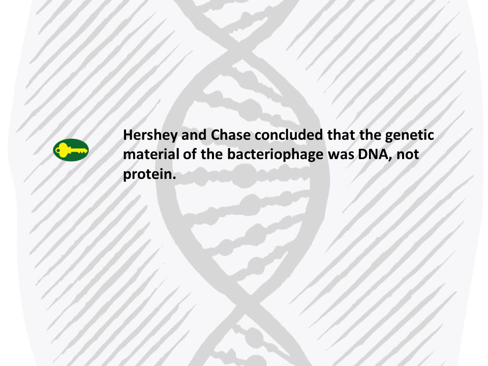 Hershey and Chase concluded that the genetic material of the bacteriophage was DNA, not protein.