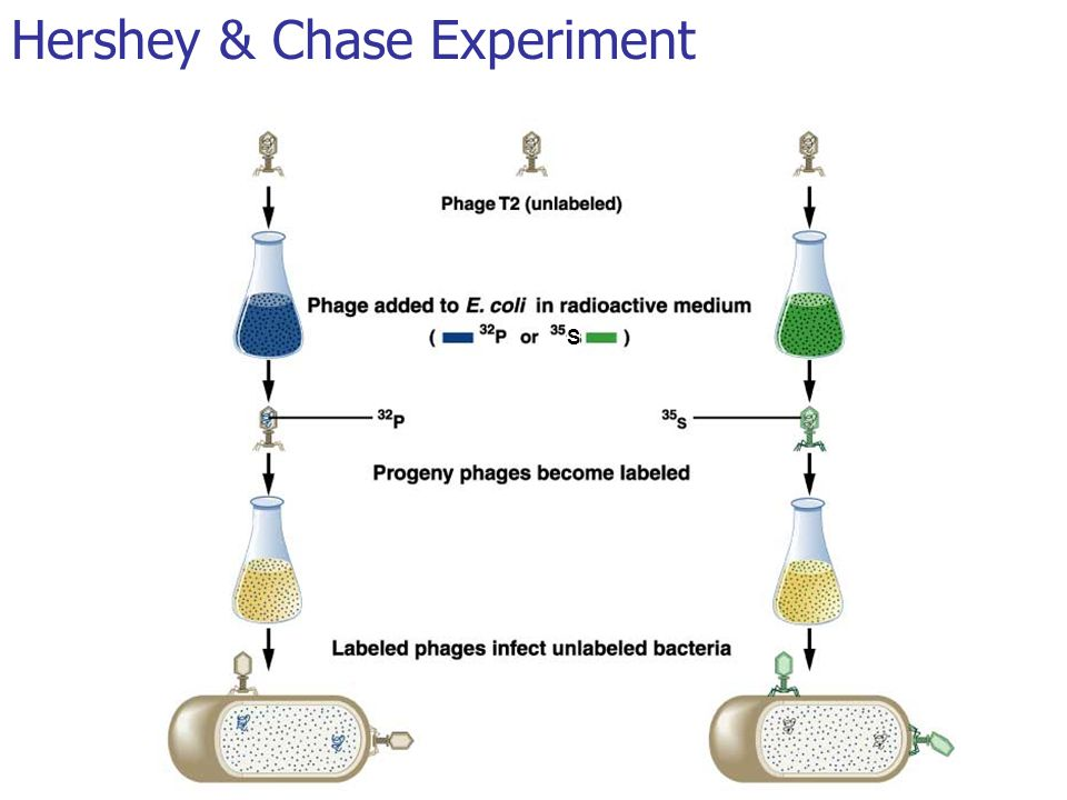 Hershey & Chase Experiment