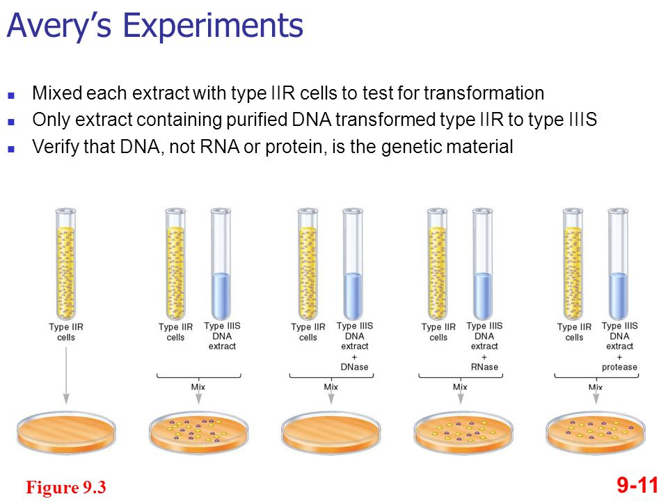 Avery's Experiments Mixed each extract with type IIR cells to test for transformation.