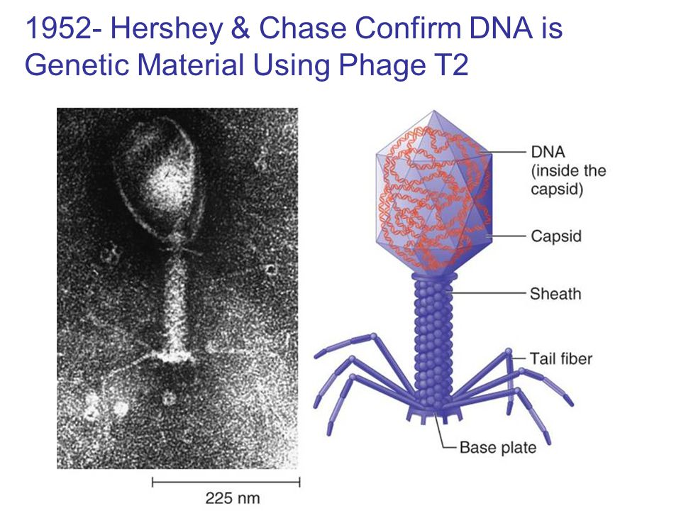 1952- Hershey & Chase Confirm DNA is Genetic Material Using Phage T2