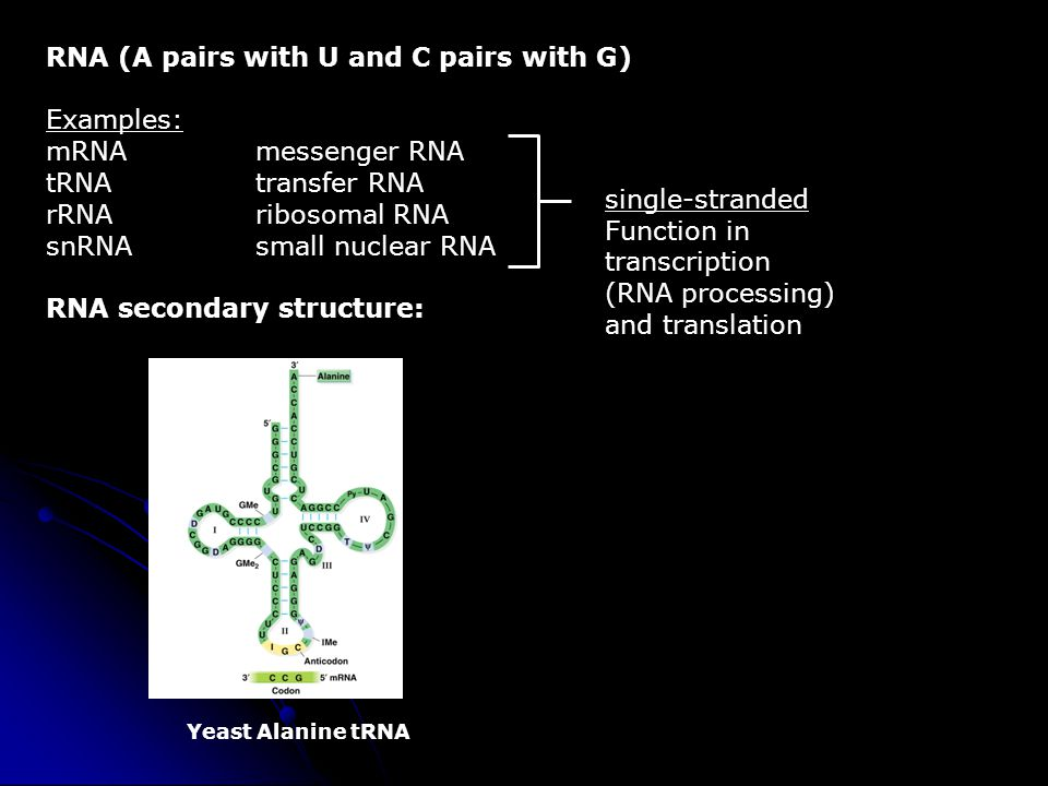 RNA (A pairs with U and C pairs with G) Examples: mRNA messenger RNA