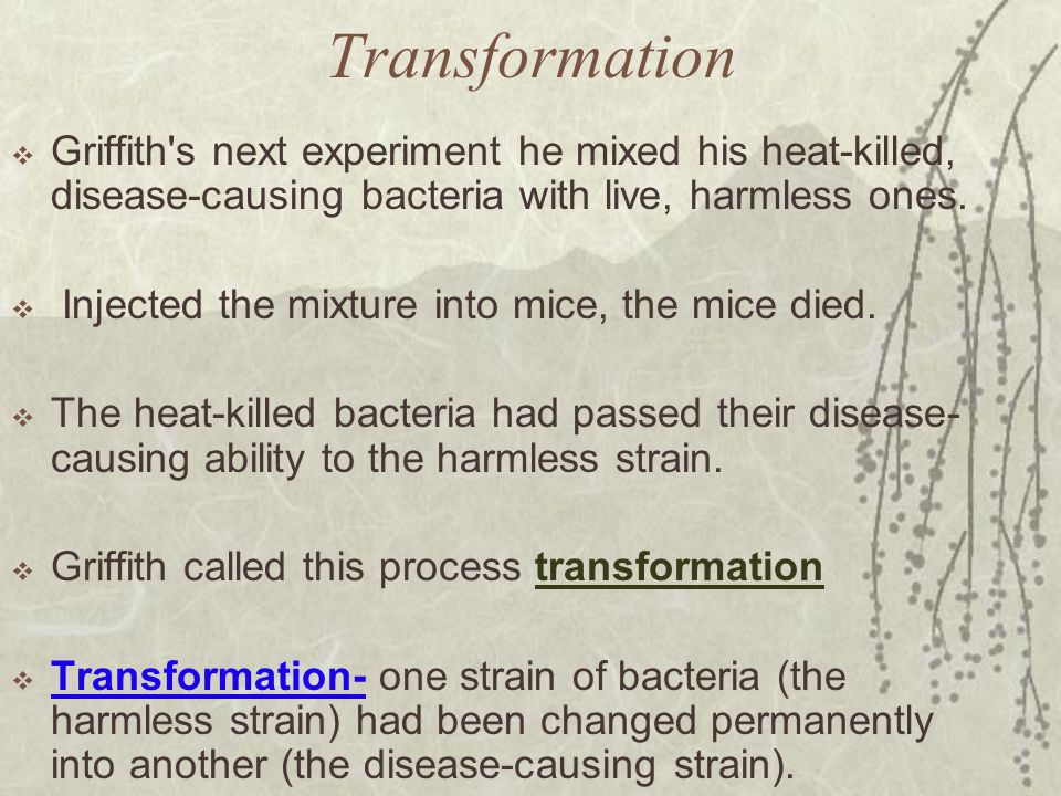 Transformation Griffith s next experiment he mixed his heat-killed, disease-causing bacteria with live, harmless ones.