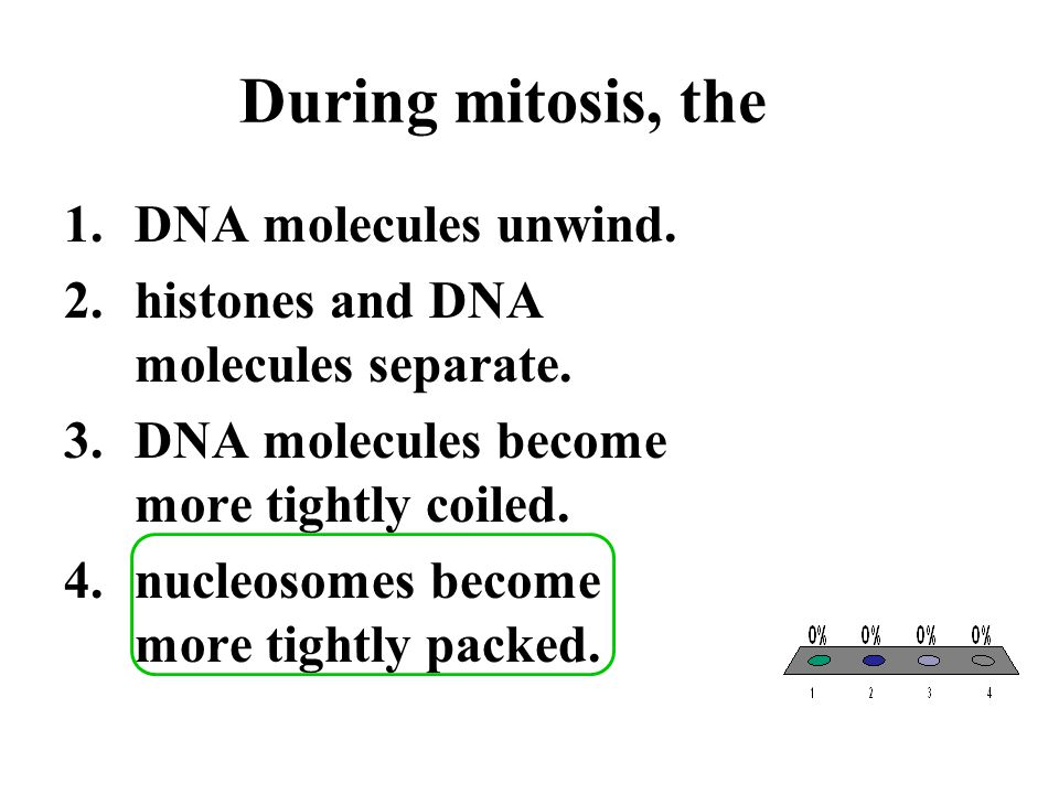 During mitosis, the DNA molecules unwind.
