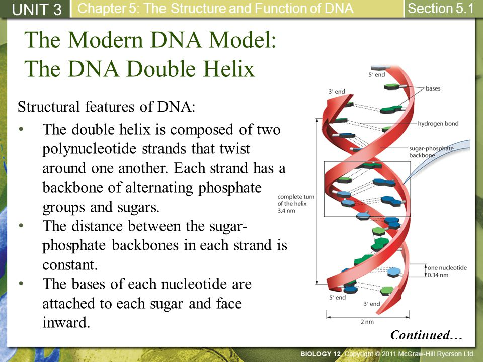 The Modern DNA Model: The DNA Double Helix