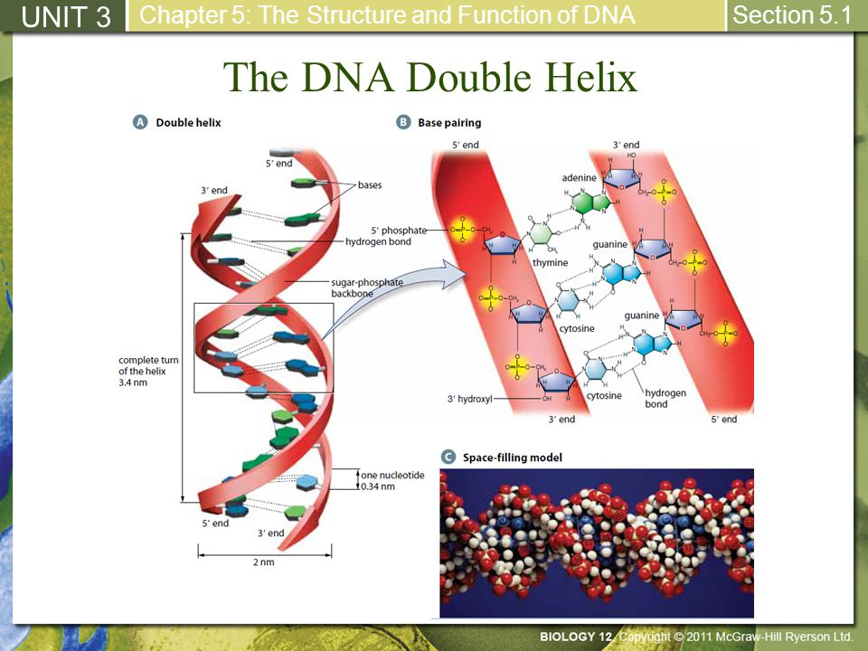 The DNA Double Helix UNIT 3