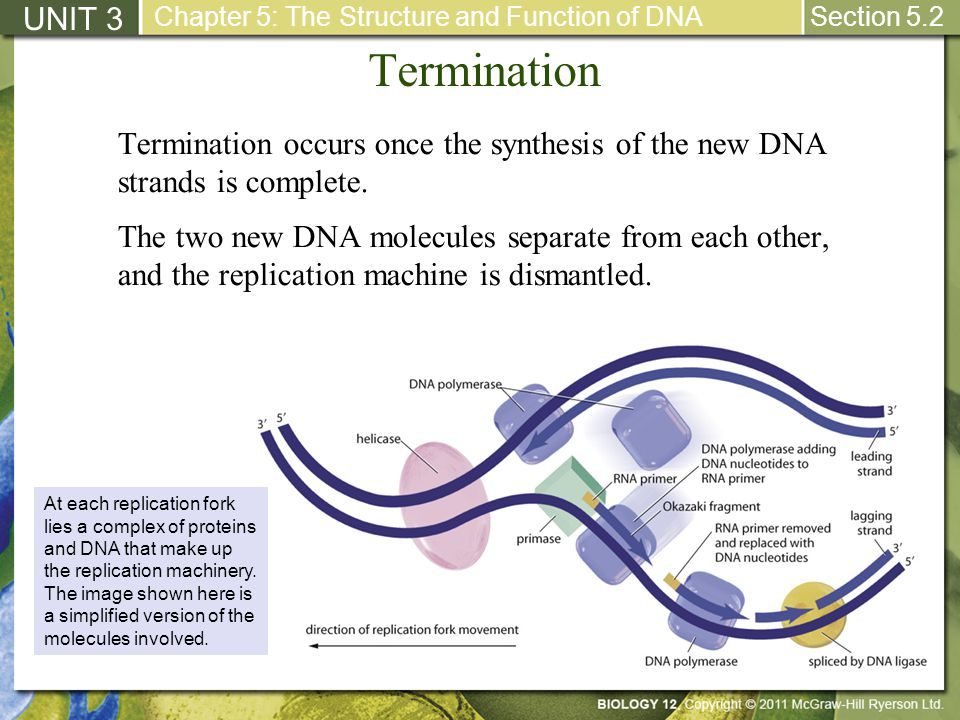 UNIT 3 Chapter 5: The Structure and Function of DNA. Section 5.2. Termination.