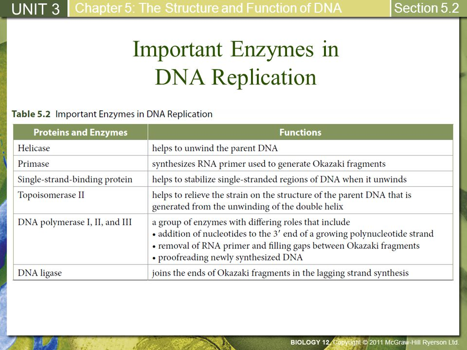 Important Enzymes in DNA Replication