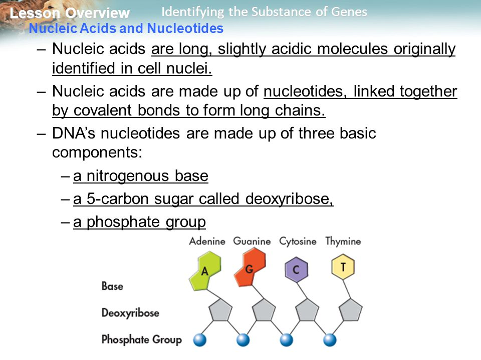 Nucleic Acids and Nucleotides